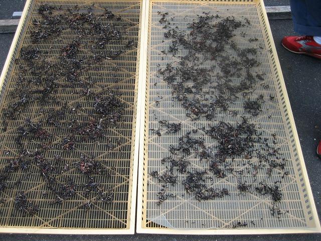 最初は天日で乾燥し仕上げか機械で乾燥します。 写真はきくらげスライスの乾燥している所です。